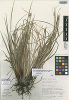 Holotype of Carex tovarensis Reznicek & G. A. Wheeler [family CYPERACEAE]