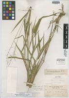 Isotype of Panicum aculeatum Hitchc. & Chase [family POACEAE]