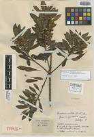 Holotype of Baccharis nitida (Ruíz & Pav.) Pers. f. angustifolia Cuatrec. [family ASTERACEAE]