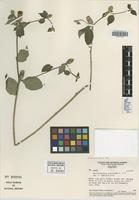 Isotype of Mattfeldanthus mutisiodes R. M. King & H. Rob. [family ASTERACEAE]