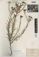 Isotype of Stevia simulans B. L. Rob. [family ASTERACEAE]