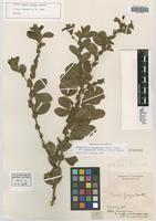 Isotype of Cassia filipes Benth. [family FABACEAE]