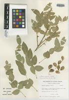Isotype of Ateleia popenoei Correll [family FABACEAE]