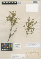 Isotype of Coursetia brachyrhachis Harms [family FABACEAE]