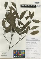 Isotype of Endlicheria tomentosa Chanderb. [family LAURACEAE]