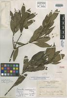 Isotype of Osmanthus mexicana Lundell [family OLEACEAE]