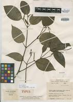 Holotype of Piper albanense Yunck. [family PIPERACEAE]