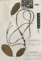 Type of Coccoloba hondurensis Lundell [family POLYGONACEAE]