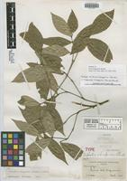 Isotype of Evea chiapensis Standl. [family RUBIACEAE]