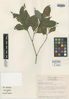 Isotype of Psychotria luteotuba Lorence [family RUBIACEAE]