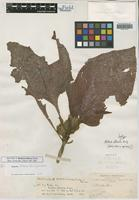 Isotype of Besleria foliacea Rusby [family GESNERIACEAE]
