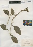Isotype of Beloperone nuda Rusby [family ACANTHACEAE]