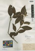 Isotype of Sabicea boliviensis Wernham [family RUBIACEAE]