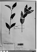 Type of Jacobinia lepida Moric. [family ACANTHACEAE]