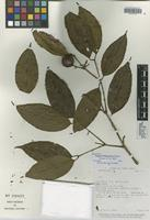 Isotype of Eugenia lithosperma Barrie [family MYRTACEAE]