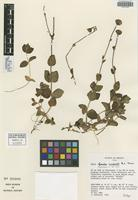 Isotype of Ageratina macdonaldii B. L. Turner [family ASTERACEAE]