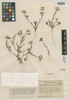 Isotype of Layia glandulosa D. D. Keck [family ASTERACEAE]
