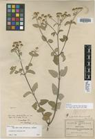 Isotype of Perymenium rude B. L. Rob. & Greenm. [family ASTERACEAE]