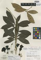 Holotype of Amphitecna silvicola L. O. Williams [family BIGNONIACEAE]