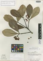 Isotype of Clusia liesneri Maguire [family CLUSIACEAE]