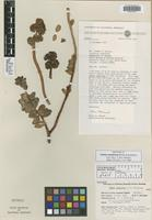 Isotype of Sedum commixtum Hutchison [family CRASSULACEAE]