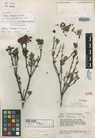Holotype of Bejaria tachirensis A. C. Sm. [family ERICACEAE]