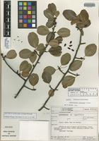 Isotype of Erythroxylum caatingae Plowman [family ERYTHROXYLACEAE]