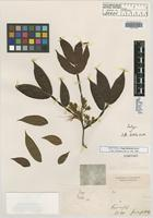 Isotype of Inga disticha Benth. [family FABACEAE]