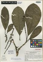 Isotype of Byrsonima christianeae W. R. Anderson [family MALPIGHIACEAE]
