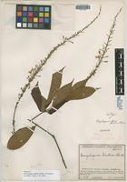 Isotype of Gonzalagunia affinis Standl. ex Steyerm. [family RUBIACEAE]