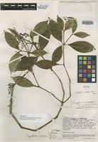 Holotype of Psychotria cubitalis Standl. & Steyerm. [family RUBIACEAE]