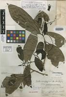 Holotype of Ocotea verapazensis Standl. & Steyerm. [family LAURACEAE]