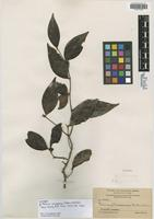 Isotype of Psidium navasense Britton & Wilson [family MYRTACEAE]