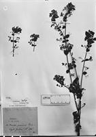 Isotype of Hyptis amethystoides Benth. [family LAMIACEAE]