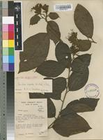 Filed as Cordia vignei. Hutch. & Dalziel [family BORAGINACEAE]