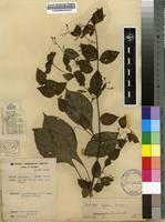 Filed as Justicia glabra K.D.Koenig ex Roxb. [family ACANTHACEAE]