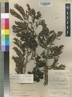Filed as Dichrostachys cinerea (L.) Wight & Arn. [family FABACEAE]
