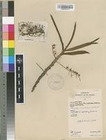 Filed as Tridactyle bicaudata (Lindl.) Schltr. [family ORCHIDACEAE]