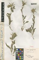Type of Pallenis spinosa Cass. var. villosa Pamp. [family COMPOSITAE]