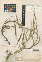 Isotype of Dendrochilum microstylum Schltr. [family ORCHIDACEAE]