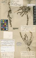 Holotype of Micromeria linkii Webb et Berth. [family LABIATAE]