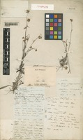 Type of Gnaphalium collinum Labill. [family COMPOSITAE]