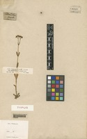 Type of Fedia triquetra Hochst. & Steud. [family VALERIANACEAE]
