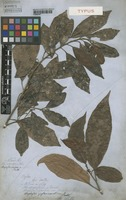 Type of Allophylus varians Radlk. [family SAPINDACEAE]