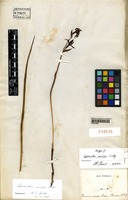 Isotype of Lyperanthus serratus Lindl. [family ORCHIDACEAE]