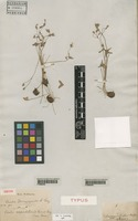 Isotype of Oxalis drummondii A. Gray [family OXALIDACEAE]