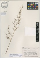 Paratype of Sorghastrum apalachicolense D.W.Hall [family POACEAE]