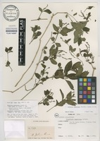 Syntype of Dianthera rugeliana Griseb. [family ACANTHACEAE]