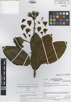 Holotype of Meriania yalconensis H. Mendoza & Fern-Alonso [family MELASTOMATACEAE]