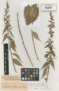 Type of Campanula illinoensis Fresen. [family CAMPANULACEAE]